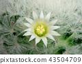 Cactus Flower Mammillaria Plumosa Blooming 43504709