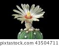 Cactus Flower Astrophytum Asterias Blooming 43504711
