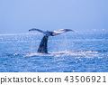 sperm, whale, shiretoko 43506921