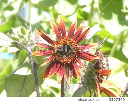 ดอกไม้ฤดูร้อนดอกทานตะวันดอกไม้สีแดง 43507569