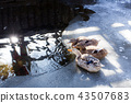寒冷的冬天口渴的鴨子家庭 43507683