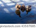 寒冷的冬天口渴的鴨子家庭 43507685