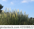 pampas grass, bloom, blossom 43508622
