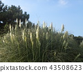 pampas grass, bloom, blossom 43508623