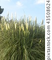 pampas grass, bloom, blossom 43508624