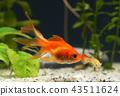 Goldfish in aquarium  43511624