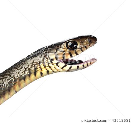 snake isolated on white background 43515651