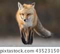 Red Fox on the Hunt  43523150