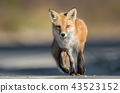 Red Fox on the Hunt  43523152