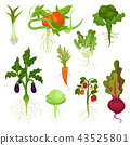 vegetable, cabbage, carrot 43525801