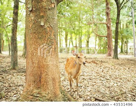 Cute deer at Nara Park 43531496
