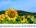 해바라기 밭, 풍경, 경치 43540448