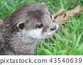 Otter is playing in the grass 43540639