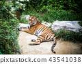 老虎 動物 夏天 43541038