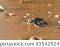 孵化的綠海龜的嬰孩 43542024