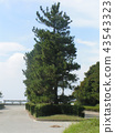 black pine, an evergreen tree, coniferou 43543323