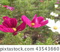 cosmos, cosmea, bloom 43543660