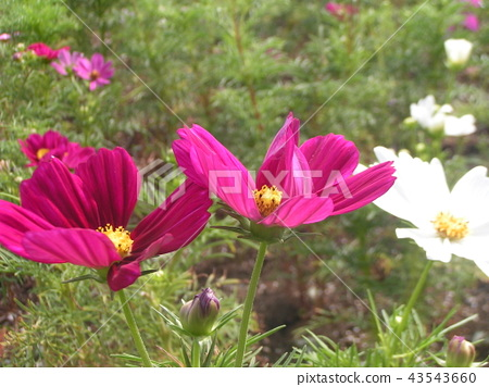 Autumn cherry cosmos red flower 43543660