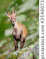 ibex animal wildlife 43546073
