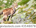 ibex animal wildlife 43546078