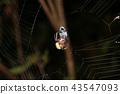 거미, 포식, 잡아먹다 43547093