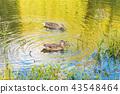 duck pond bird 43548464