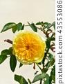 玫瑰 玫瑰花 花朵 43553086
