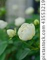 玫瑰 玫瑰花 花朵 43553219