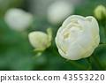 玫瑰 玫瑰花 花朵 43553220