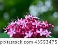 丁香牡丹文艺 花朵 花卉 43553475