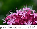 丁香牡丹文艺 花朵 花卉 43553476