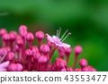 丁香牡丹文艺 花朵 花卉 43553477