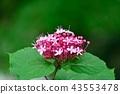 丁香牡丹文艺 花朵 花卉 43553478