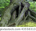 Root of tree (Kenrokuen) 43556313