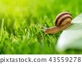 Beautiful lovely snail in grass with morning dew. 43559278