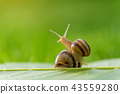 Beautiful lovely snail in grass with morning dew. 43559280