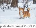 corgi dog snow 43559935