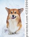 corgi fluffy portrait 43559994