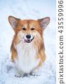 corgi dog snow 43559996