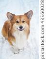 corgi dog snow 43560028