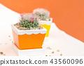 cactus in pot 43560096