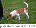 Jack Russell Terrier playful dog closeup 43561124