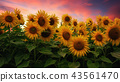 Sunflower Field at Sunset, Northern California USA 43561470
