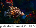 Lion fish in aquarium 43561872