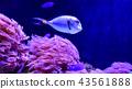 Beautiful Naso Tang in reef aquarium tank 43561888