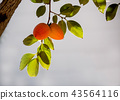 two ripe persimmons and green leaves on a branch  43564116
