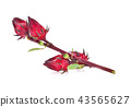 Hibiscus sabdariffa or roselle fruits isolated 43565627