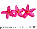 The most beatiful plumeria flowers. 43570185