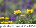 黄色万寿菊花淡紫色背景 43574050