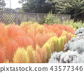 秋天有色的紅松鼠 43577346